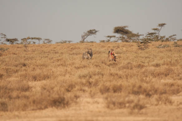 mother gazelle moves on after the second hyena appears