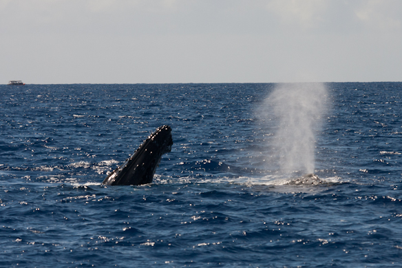 whales surfacing and spouting