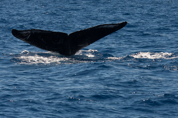 tail markings identify the whale
