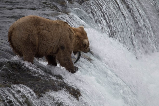 bear fishing for salmon