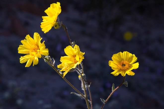 desert gold blossoms
